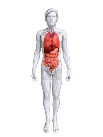 Photo pour Illustration du système digestif humain - image libre de droit