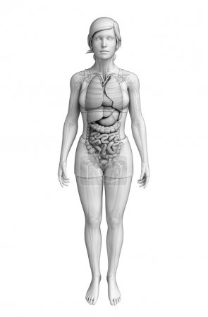 Digestive system of female anatomy