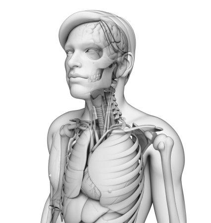 Photo pour Illustration du système respiratoire du corps humain - image libre de droit