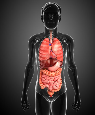 Digestive system of male body