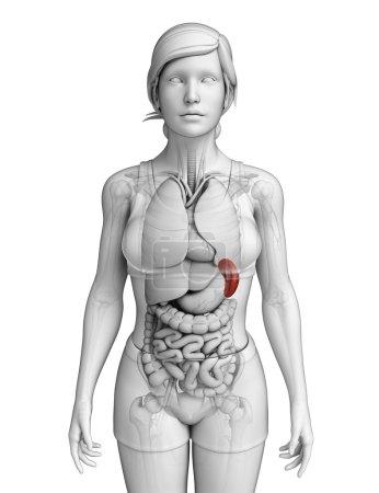 Photo pour Illustration de l'anatomie de la rate féminine - image libre de droit
