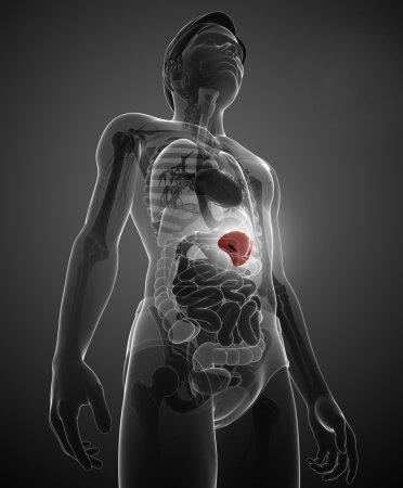 Photo pour Illustration de l'anatomie masculine rate - image libre de droit
