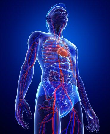 Photo pour Illustration du système circulatoire masculin - image libre de droit
