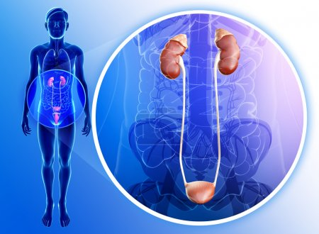 Photo pour Illustration du système urinaire masculin - image libre de droit