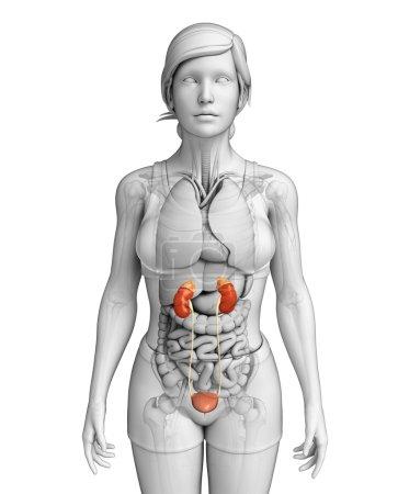 Photo pour Illustration du système urinaire féminin - image libre de droit