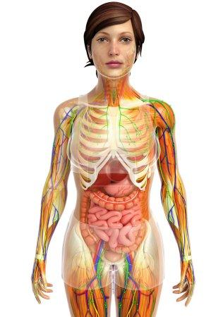 Photo pour Illustration du système lymphatique, squelettique, nerveux et circulatoire de la femme - image libre de droit