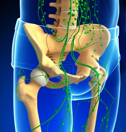 Lymphatic system of human pelvic girdle skeleton artwork