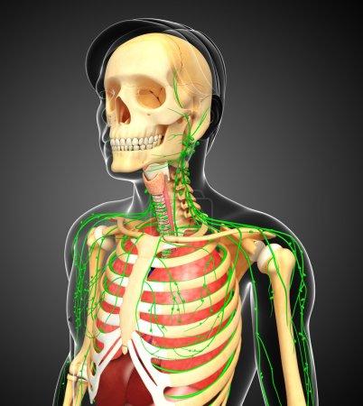 Photo pour Illustration des illustrations du système lymphatique, squelettique et respiratoire du corps masculin - image libre de droit