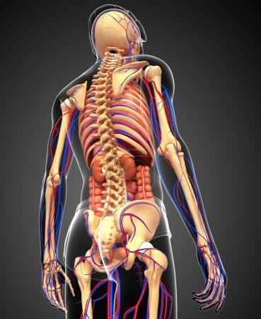 Photo pour Illustration du squelette masculin, de l'appareil digestif et circulatoire - image libre de droit