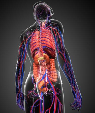 Photo pour Système digestif et circulatoire de l'art corporel masculin - image libre de droit