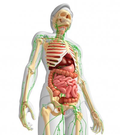 Lymphatic, skeletal and digestive system of Male body artwork
