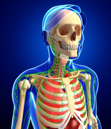 Lymphatic, skeletal and respiratory system of Male body artwork