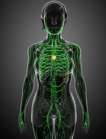 Photo pour Illustration du système lymphatique du corps féminin - image libre de droit