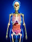 Lymfatický, kosterní a trávicí systém ženské tělo kresby