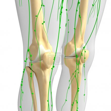 Lymphatic system of Knee skeleton artwork