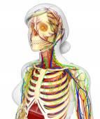 Lymfatický, kosterní, nervózní a oběhový systém ženské bo