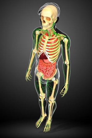 Lymphatic, skeletal and digestive system of human body artwork