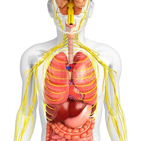 Photo pour Illustration du corps masculin avec nerveux et le système digestif oeuvre - image libre de droit