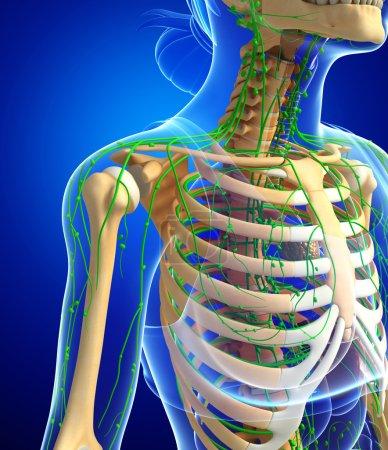 Lymphatic system of Female skeleton artwork