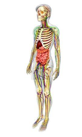 Photo pour Illustration du système lymphatique, squelettique, nerveux et circulatoire du mâle - image libre de droit