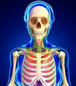 Lymfatický, kosterní a dýchací systém ženské tělo artwor