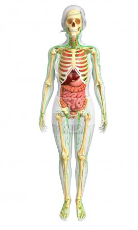 Lymphatic, skeletal and digestive system of Female body artwork