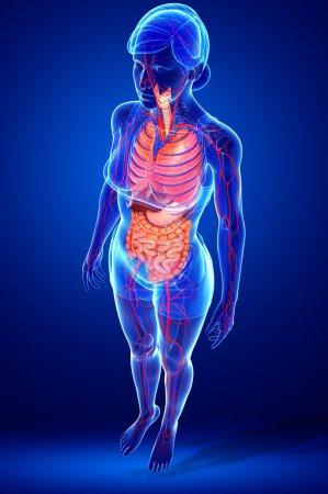 Photo pour Système digestif et circulatoire des œuvres d'art corporel féminin - image libre de droit