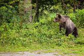Přišel mladý medvěd z lesa