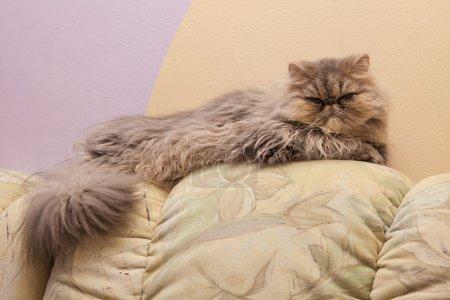Young tortie persian cat