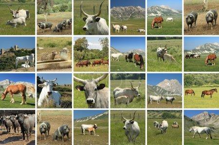 Livestock in italian farmland