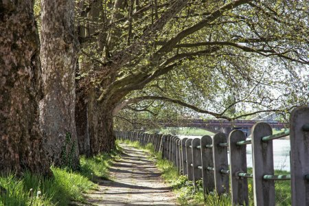 Alley of sycamore tree and railing, footpath scene