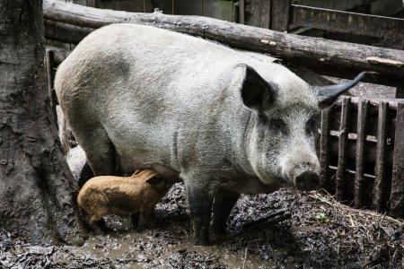 Humorous pig family