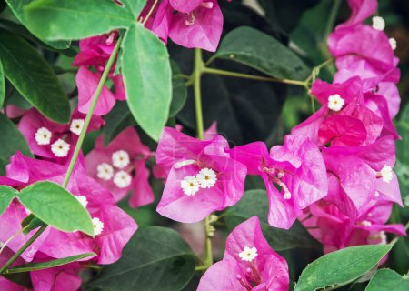 Photo pour Bougainvillea fleurs violettes. Thème jardinage. Scène naturelle saisonnière . - image libre de droit