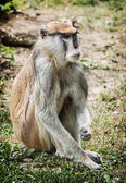 Patas opice portrét (Erythrocebus patas), krásy v přírodě