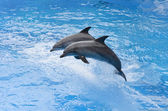 Bottlenose dolphin jumping from blue water