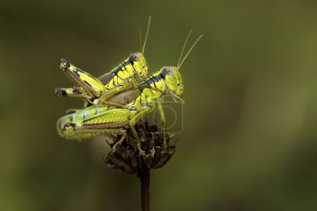 Mating between two green crickets