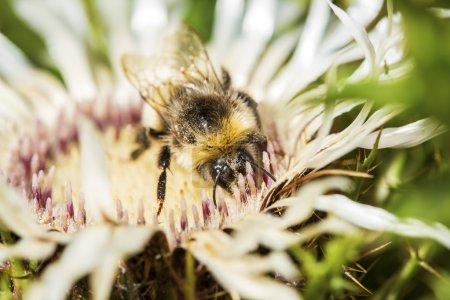 Photo pour Bourdon à queue rousse, Bombus terrestris, ramassant le pollen d'une fleur de chardon à épines. Les bourdons ont des corps ronds recouverts de cheveux doux qui les font apparaître et se sentent flous - image libre de droit