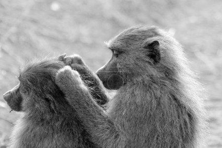Photo pour Un couple de babouins d'olive de toilettage, Papio Anubis, en noir et blanc. Le toilettage est utile à la fois pour se libérer des ravageurs et pour renforcer les relations individuelles - image libre de droit
