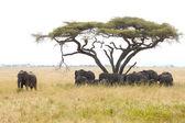 Elefántokat a wattle a férfi őrzés alatt
