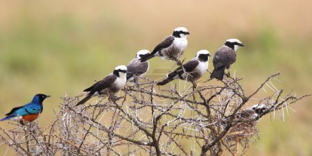 African birds perched on an acacia shrub