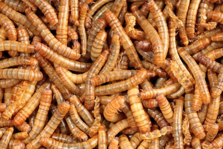 Closeup of a scatter of living mealworm
