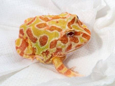 Ornate horned frog on blotting paper