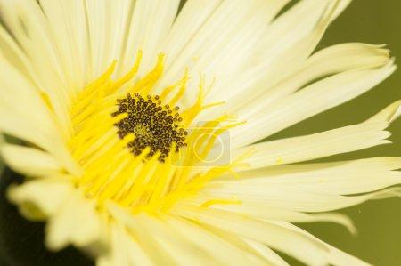 Photo pour Gros plan de la fleur jaune pissenlit, Taraxacum officinalis - image libre de droit