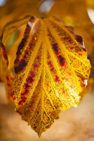 Parrotia persica tree leaves in autumn, commonly called Persian