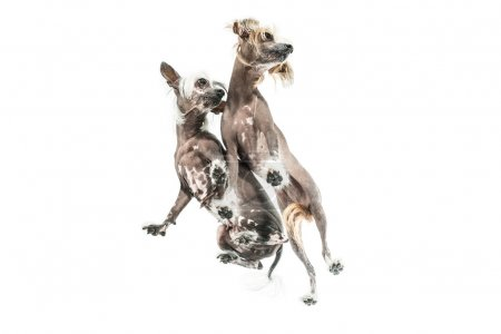Chinese crested dogs in studio