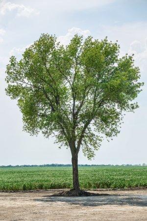 Green tree standing alone.