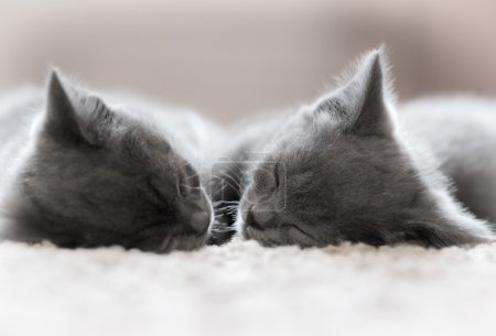 Two British Shorthair kitten sleeping.