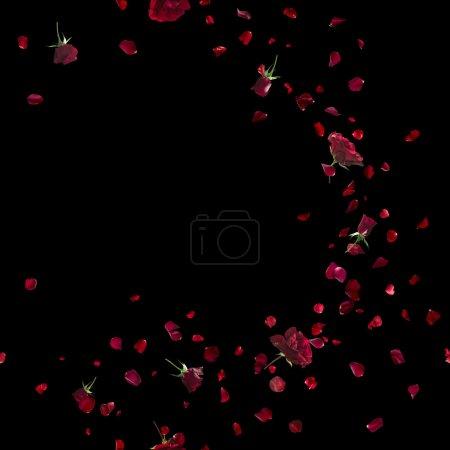 Photo pour Vent répétitif, volant, rose rouge et pétales, studio photographié et isolé sur noir absolu - image libre de droit