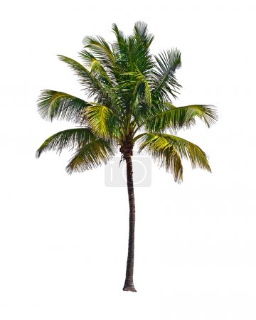 Photo for Coconut palm tree, Cocos Nucifera, with green leaves isolated on white background - Royalty Free Image
