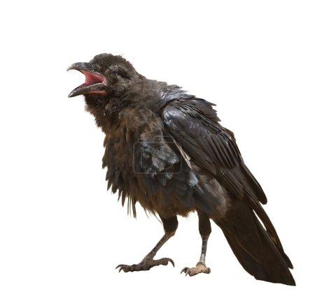 Photo pour Gros plan d'un corbeau commun (Corvus corax ) - image libre de droit